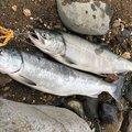 ラッセルさんの北海道亀田郡での釣果写真