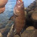 Shuさんの鹿児島県鹿児島市でのオオモンハタの釣果写真
