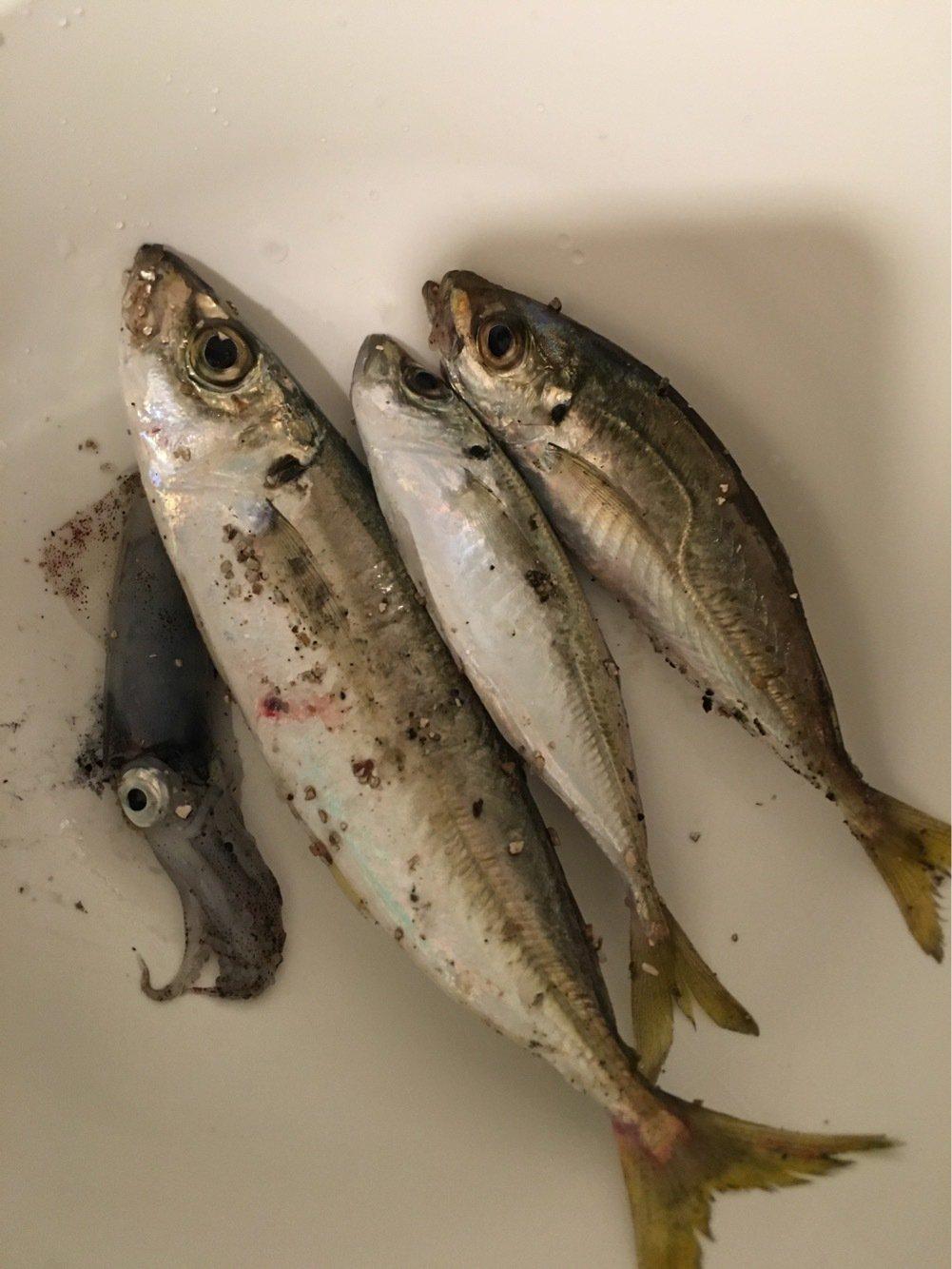 モリモリさんの投稿画像,写っている魚はアジ