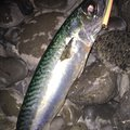 Yamanashiさんの静岡県焼津市でのマサバの釣果写真