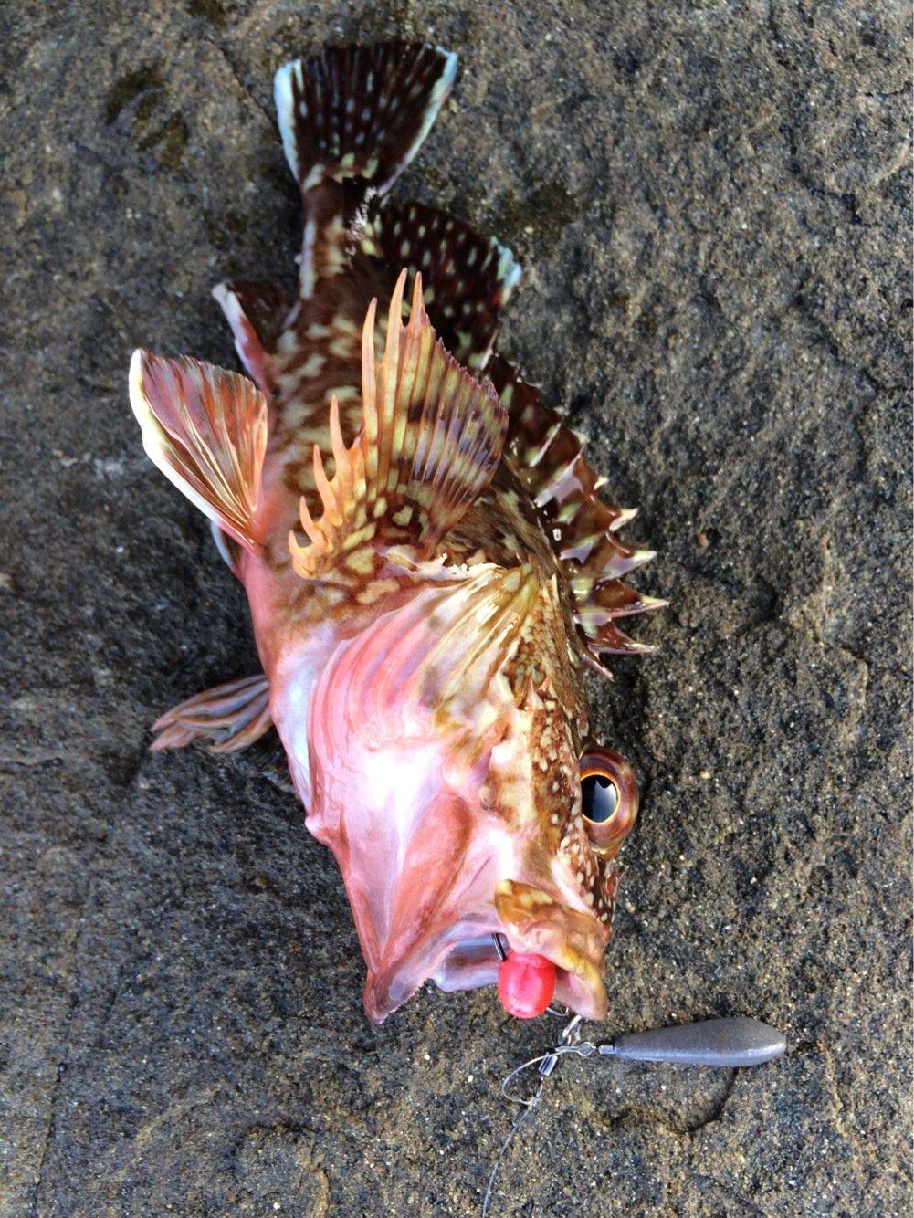AKIRAさんの投稿画像,写っている魚はカサゴ