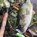 コバヨコ@バス専さんの群馬県北群馬郡での釣果写真