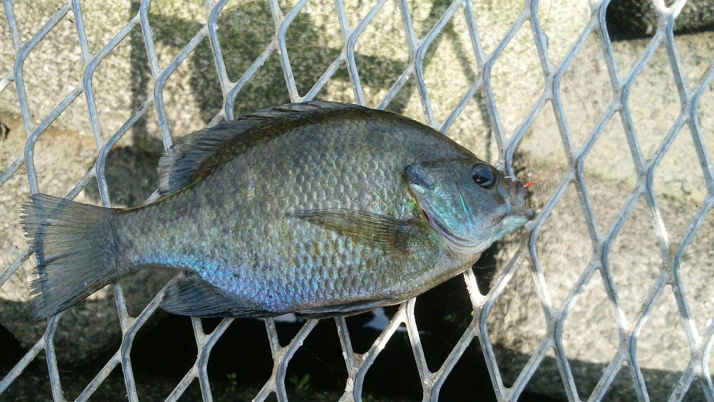 あんぱんまんさんの投稿画像,写っている魚はブルーギル