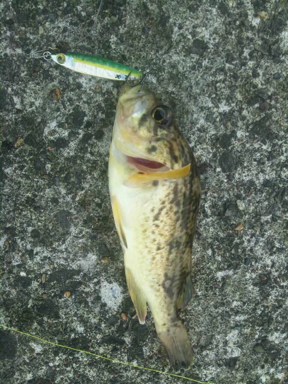 クラゲさんの投稿画像,写っている魚はソイ
