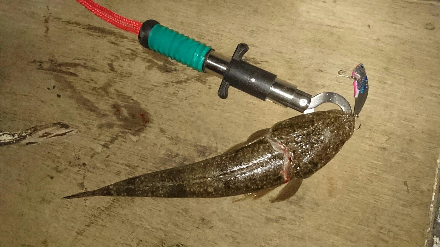 セイゴ後輩さんの投稿画像,写っている魚はコチ