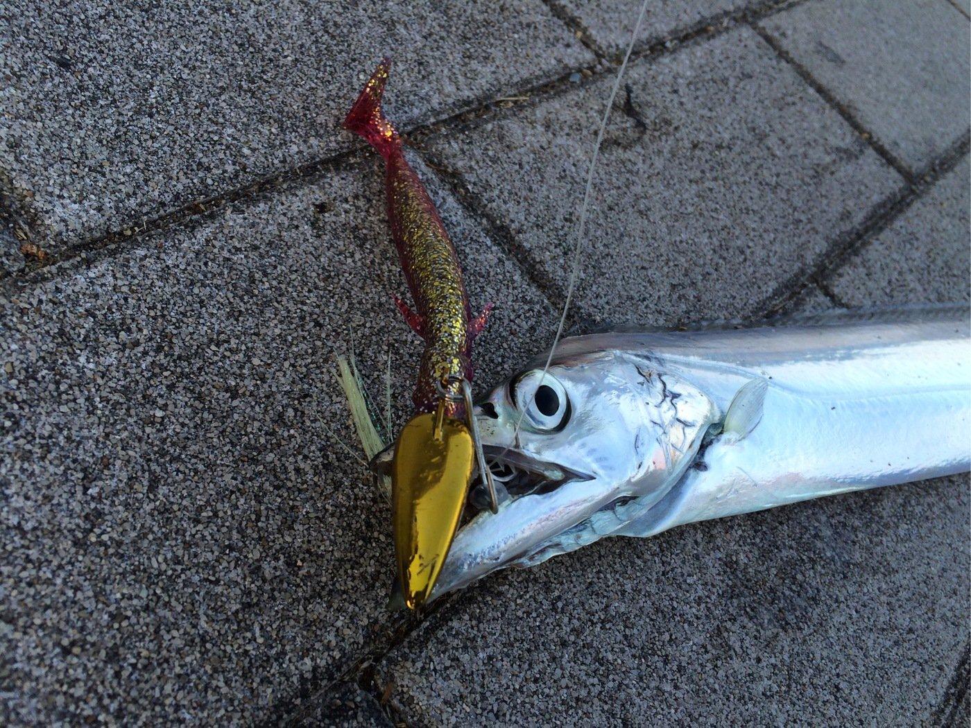AKIRAさんの投稿画像,写っている魚はタチウオ