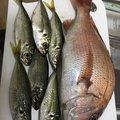 しもんさんの静岡県沼津市でのアジの釣果写真