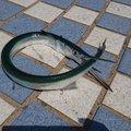 いわさんの鹿児島県でのダツの釣果写真