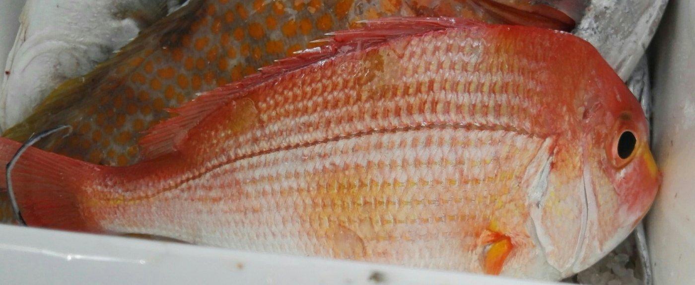 たひらさんの投稿画像,写っている魚はレンコダイ