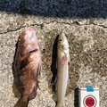 たつやさんの長崎県島原市での釣果写真