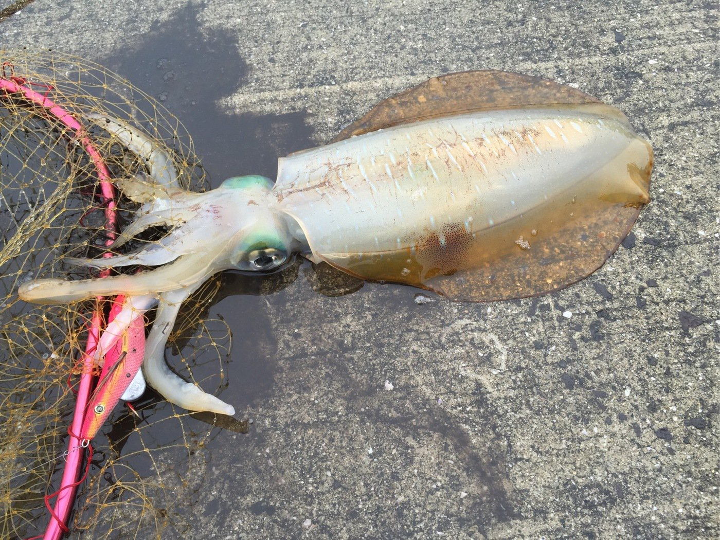ムラテツさんの投稿画像,写っている魚はアオリイカ