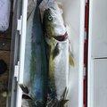 Ryoto  さんの北海道積丹郡での釣果写真