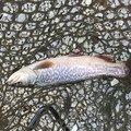 てつおTVさんの栃木県佐野市での釣果写真