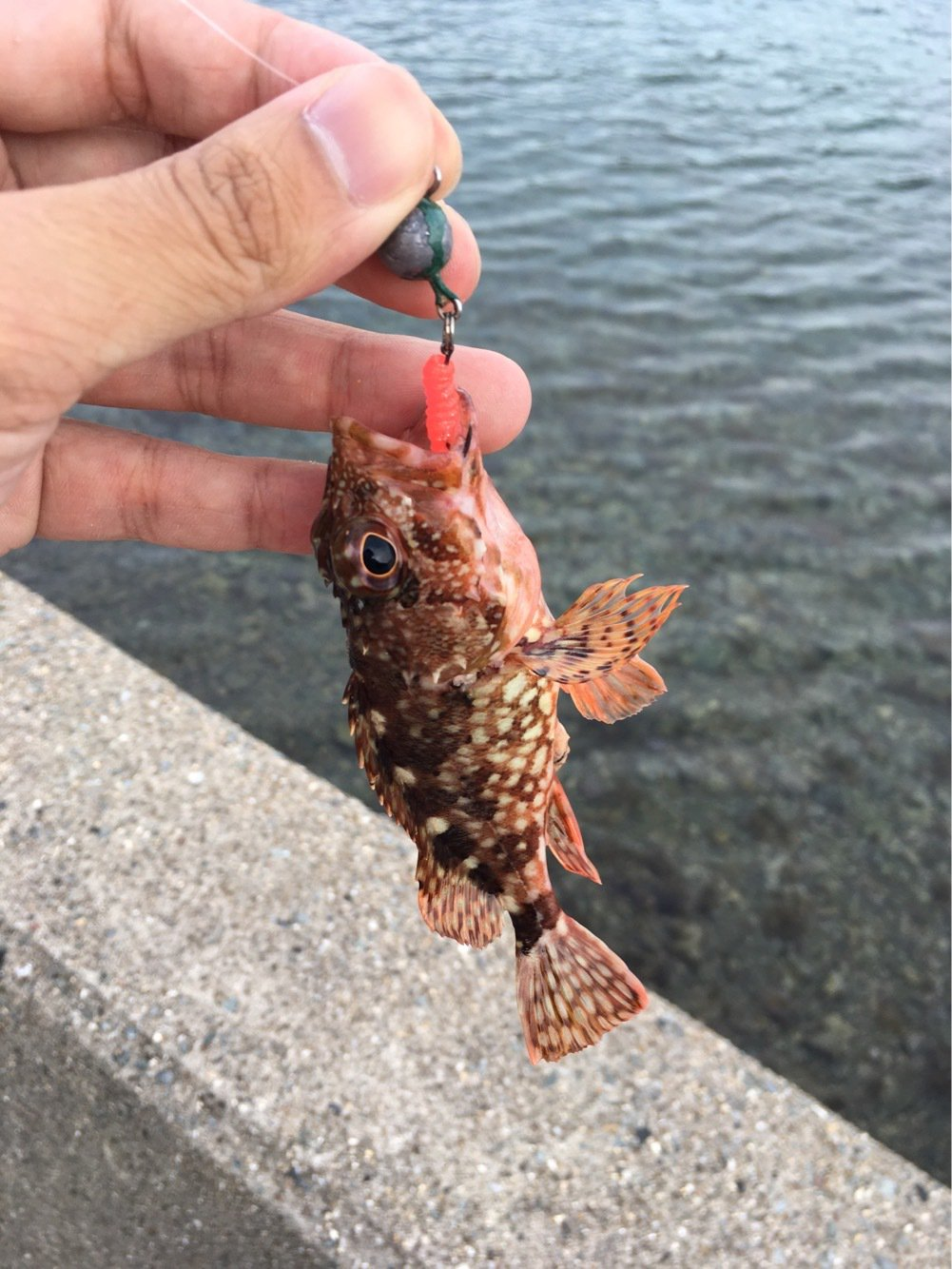 大五郎さんの投稿画像,写っている魚はカサゴ