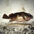 はまさんの神奈川県三浦郡でのカサゴの釣果写真
