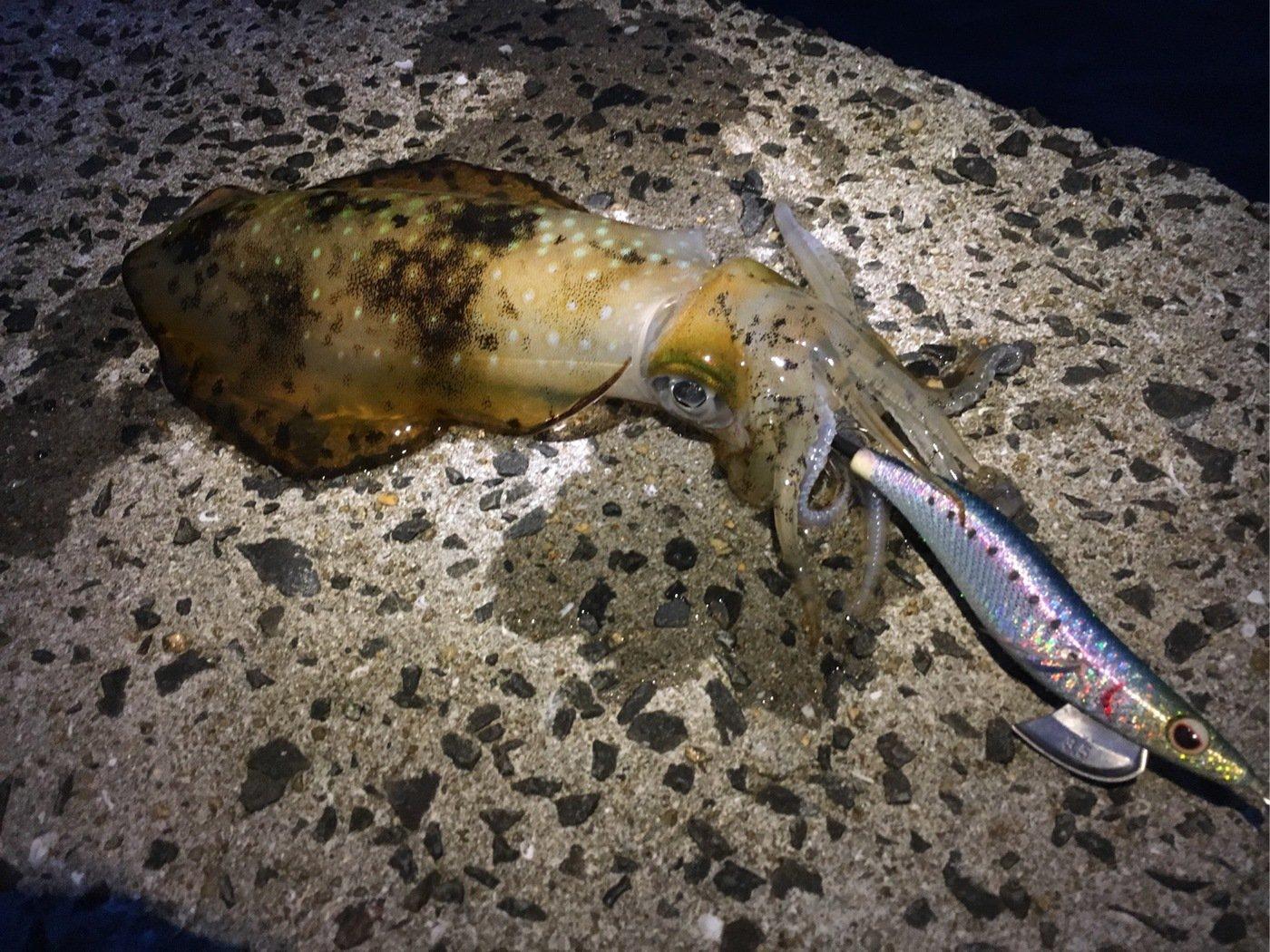 umi_usiさんの投稿画像,写っている魚はアオリイカ