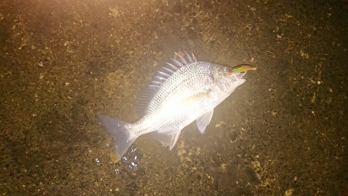 マンボウさんの投稿画像,写っている魚はスズキ,キチヌ