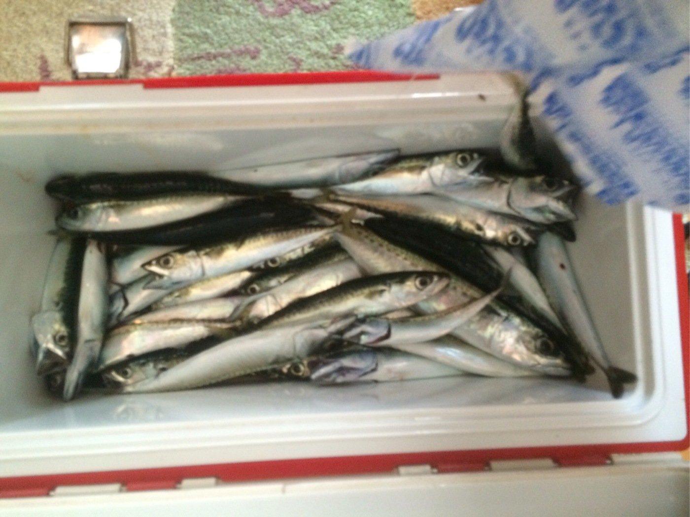 うめ茶屋さんの投稿画像,写っている魚はゴマサバ