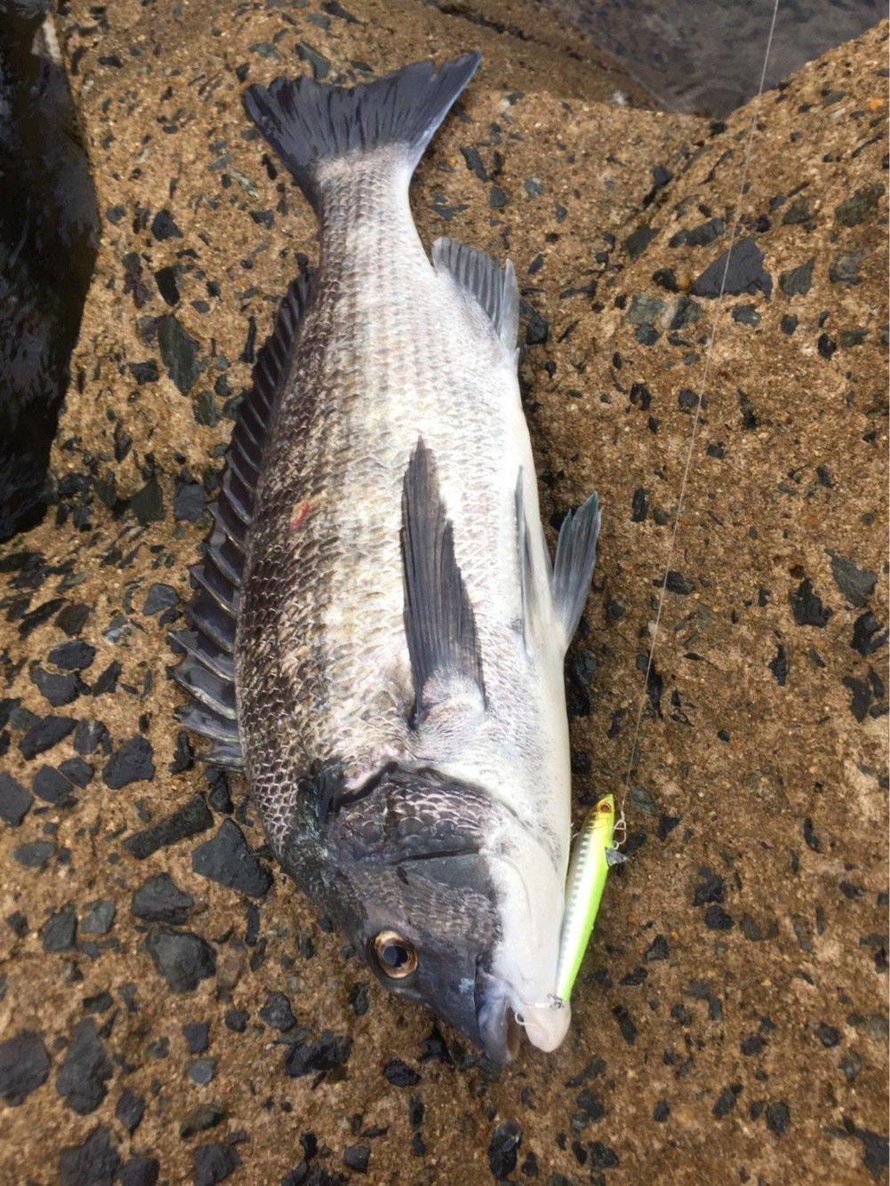 はこさんの投稿画像,写っている魚はクロダイ