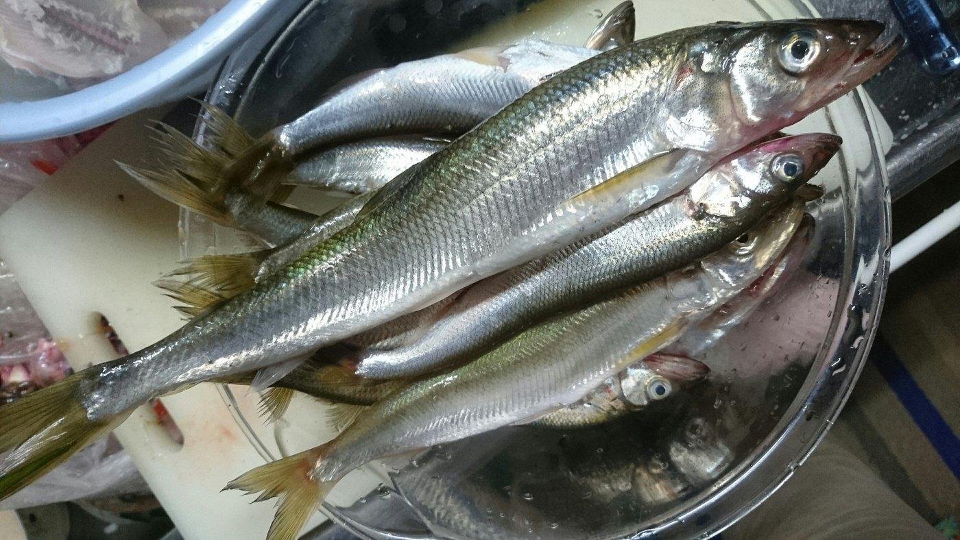 kaoさんの投稿画像,写っている魚はキュウリウオ