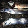 ぴーちく P竹さんの静岡県焼津市でのマサバの釣果写真
