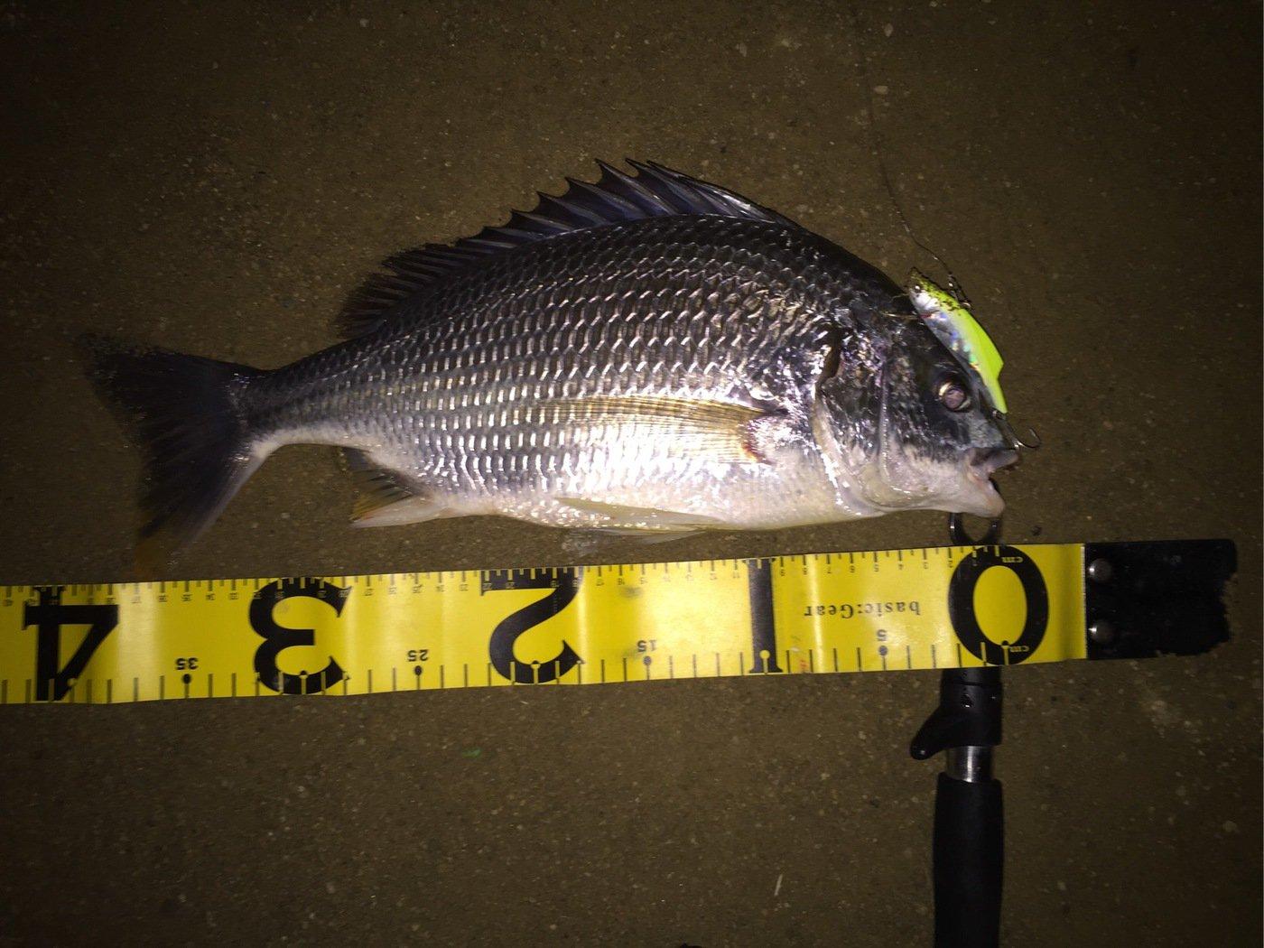 ルイージさんの投稿画像,写っている魚はキチヌ