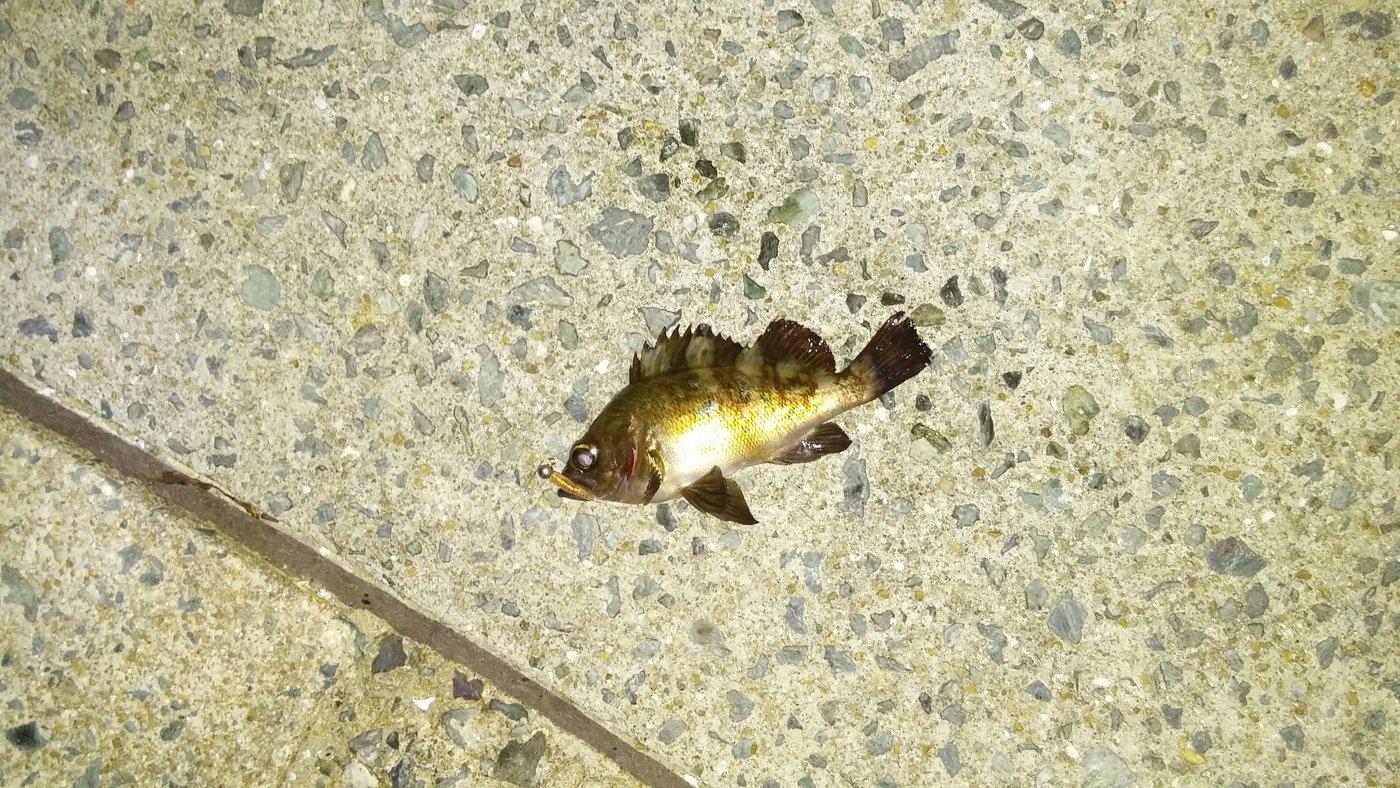 かなぶんぶんさんの投稿画像,写っている魚は