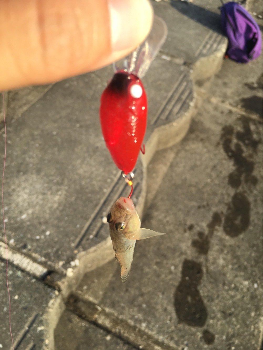 こめちゃんさんの投稿画像,写っている魚はマハゼ