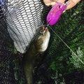 しんパパさんの青森県五所川原市での釣果写真