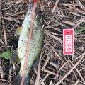 まっつんさんの茨城県龍ケ崎市での釣果写真