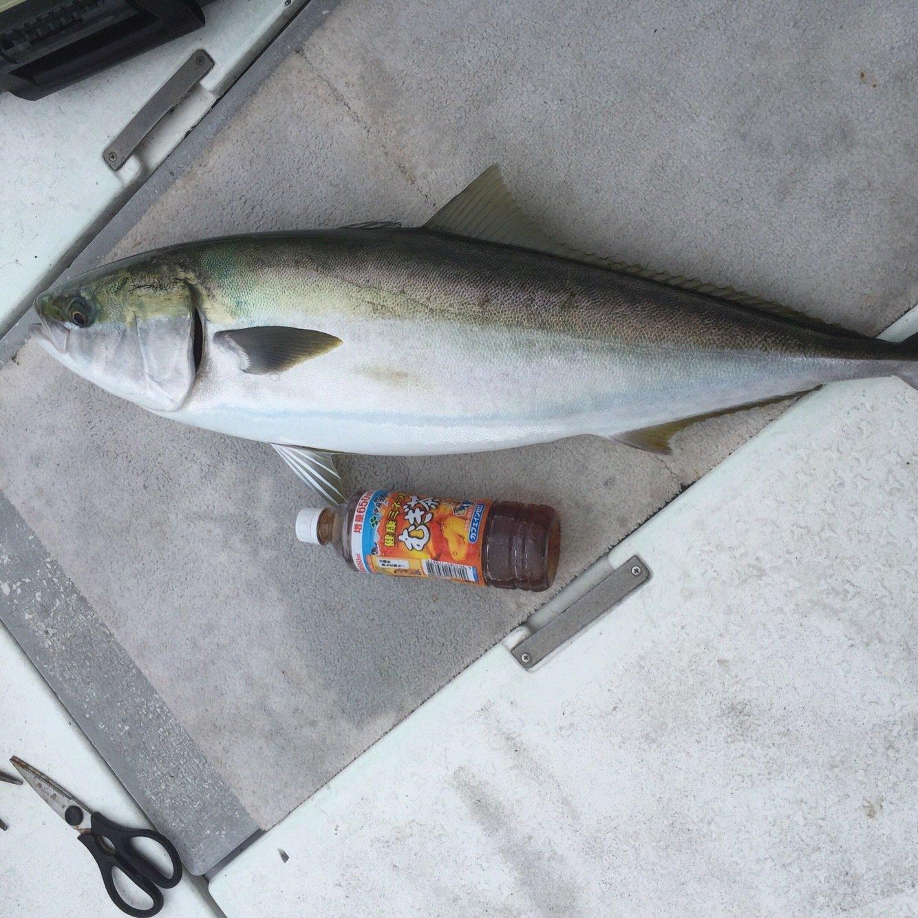 遊英丸さんの投稿画像,写っている魚はブリ