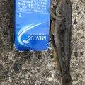 びっきさんの秋田県由利本荘市での釣果写真