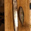 辰五郎さんの大阪府泉北郡でのタチウオの釣果写真