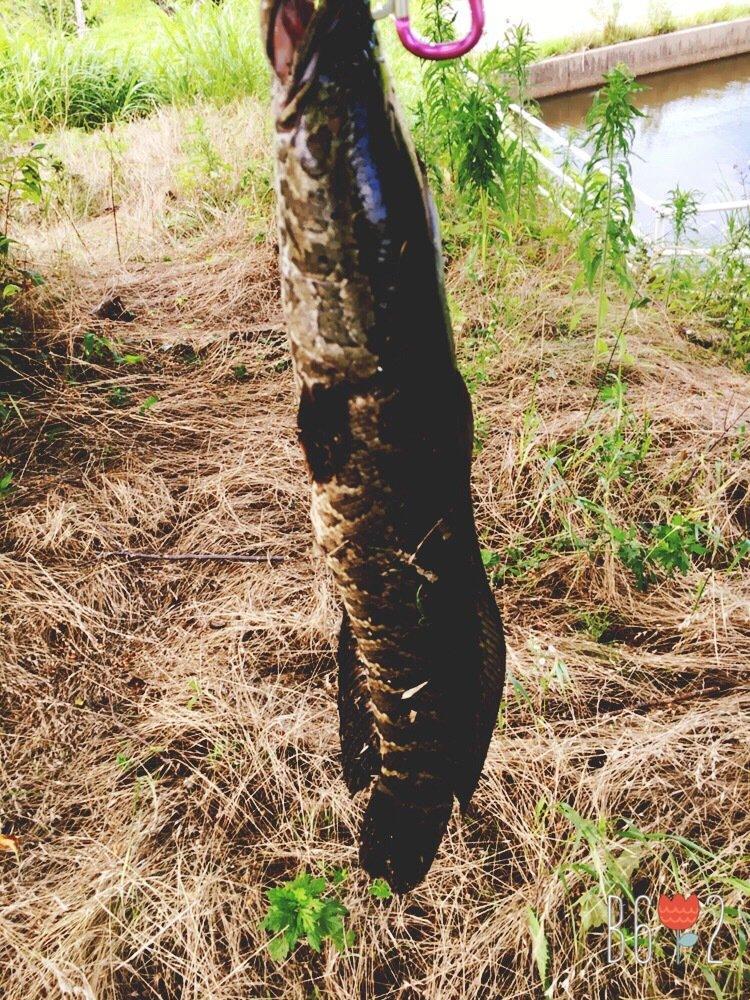 飯塚さんの投稿画像,写っている魚はライギョ
