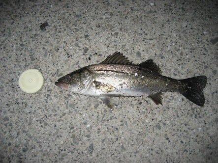 とーさんの投稿画像,写っている魚は