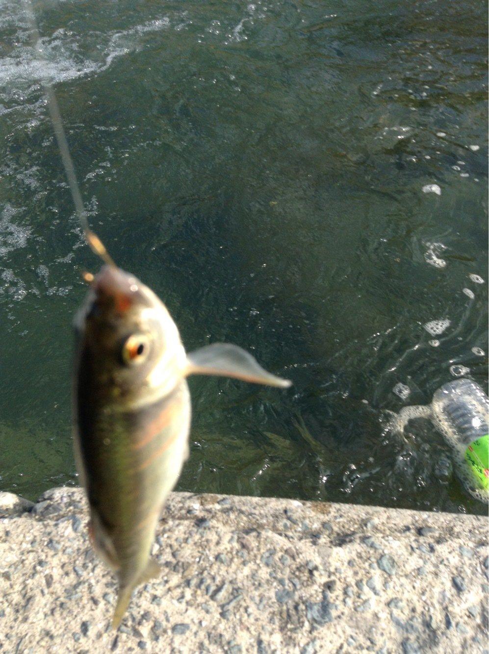 Georgeさんの投稿画像,写っている魚はオイカワ