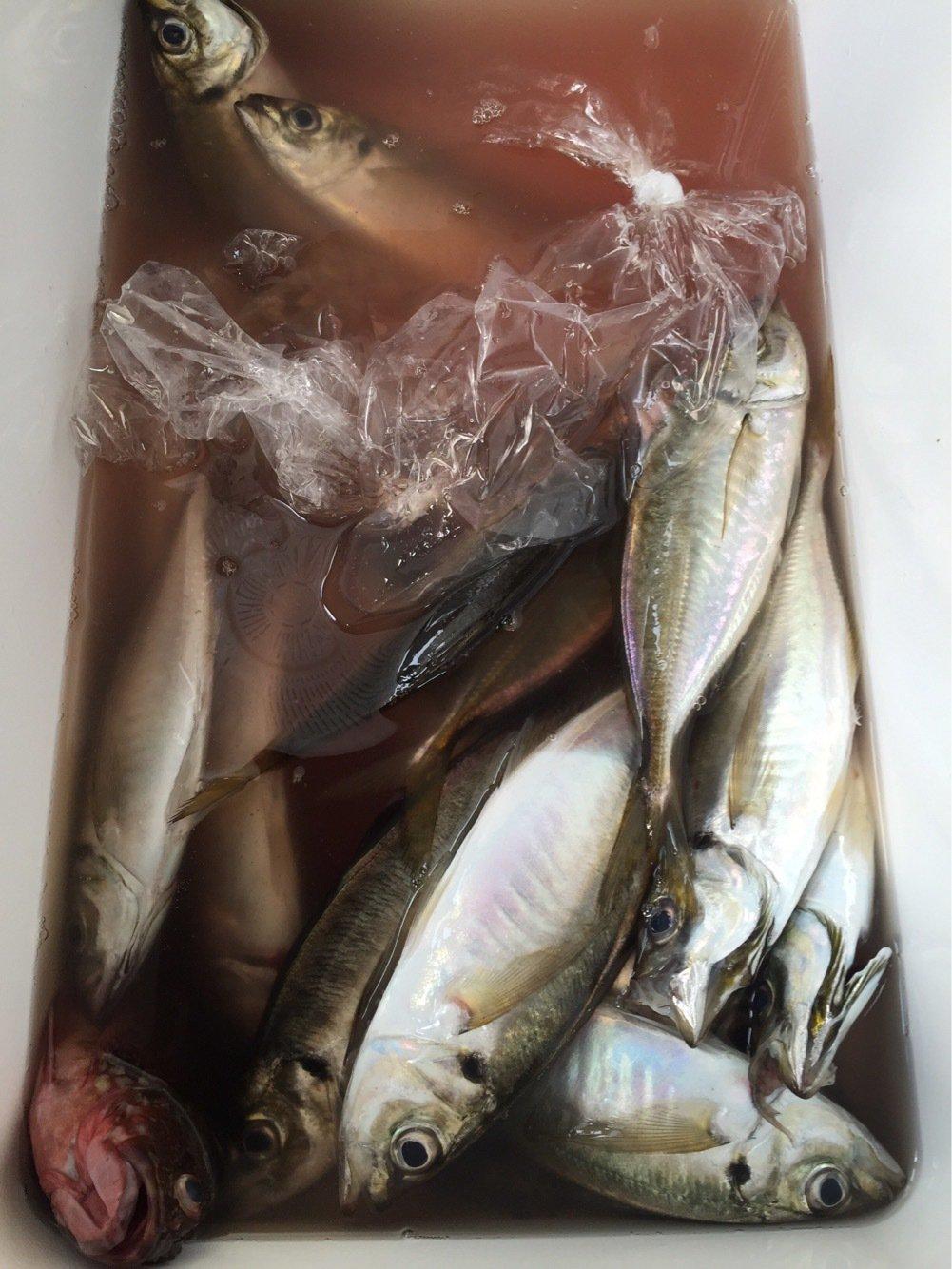 まえださんの投稿画像,写っている魚はアジ