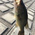 バリ吉さんの千葉県印西市での釣果写真