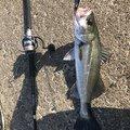 さかなクンさんの埼玉県北足立郡での釣果写真