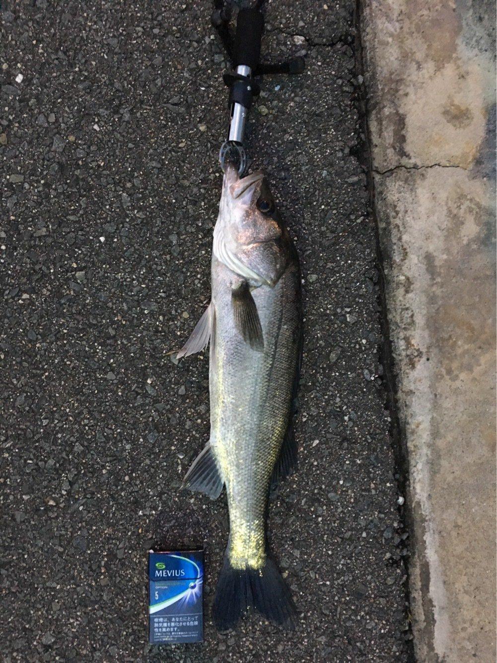 うきさんの投稿画像,写っている魚はスズキ