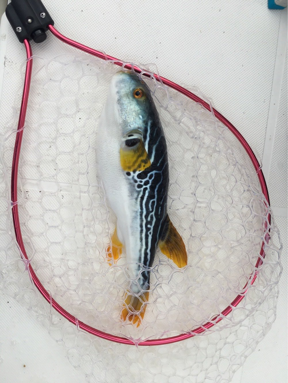 JAH GUIDANCEさんの投稿画像,写っている魚は