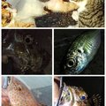 KRO さんの静岡県沼津市でのアジの釣果写真