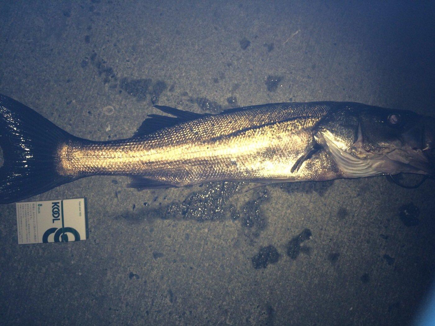 狩人妻さんの投稿画像,写っている魚はスズキ