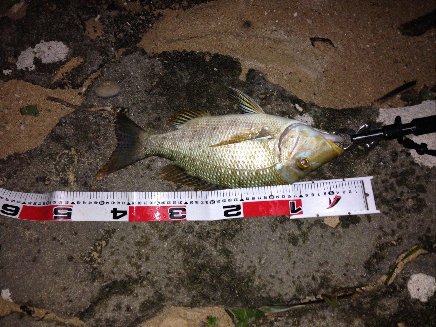 とーさんの投稿画像,写っている魚はハマフエフキダイ