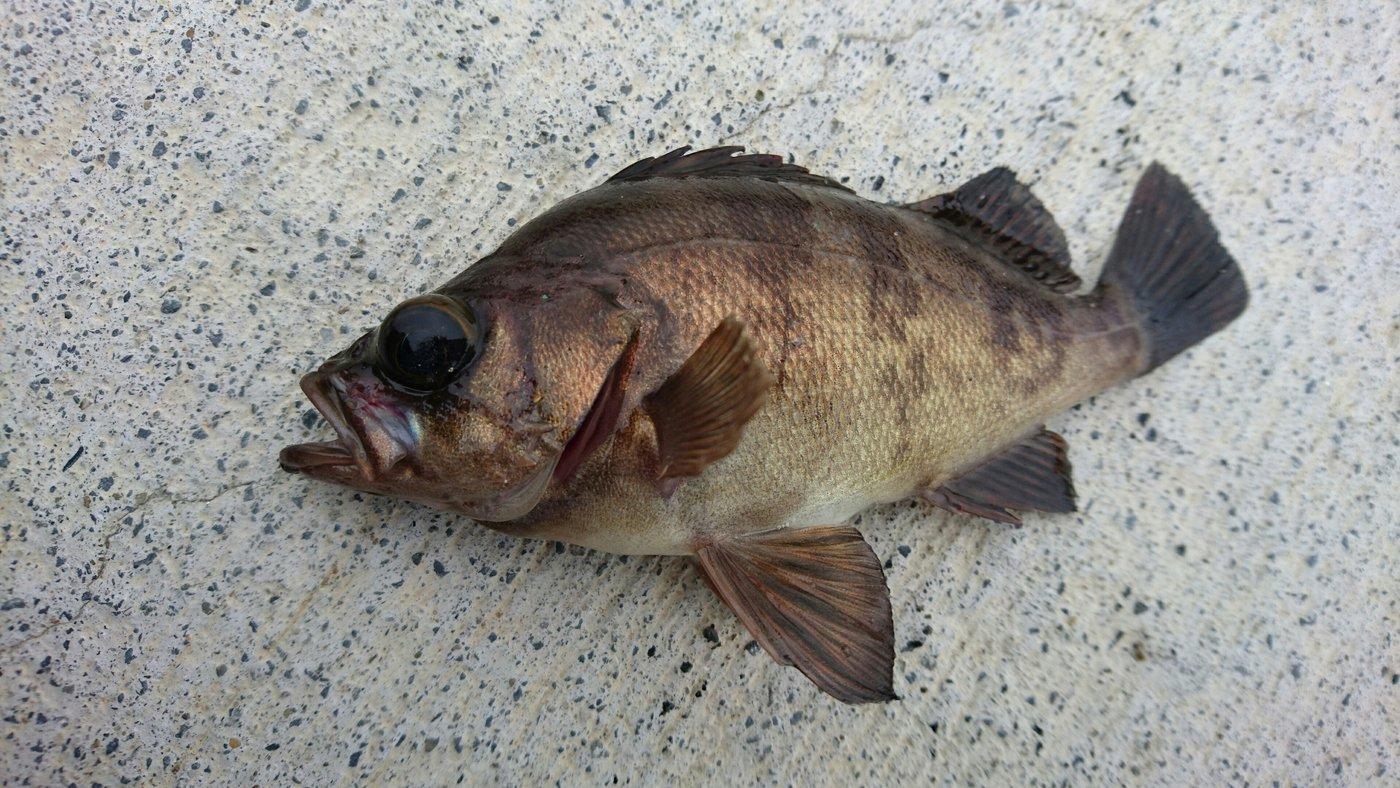 HNTさんの投稿画像,写っている魚はメバル