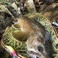 コバちゃんさんの岐阜県高山市での釣果写真