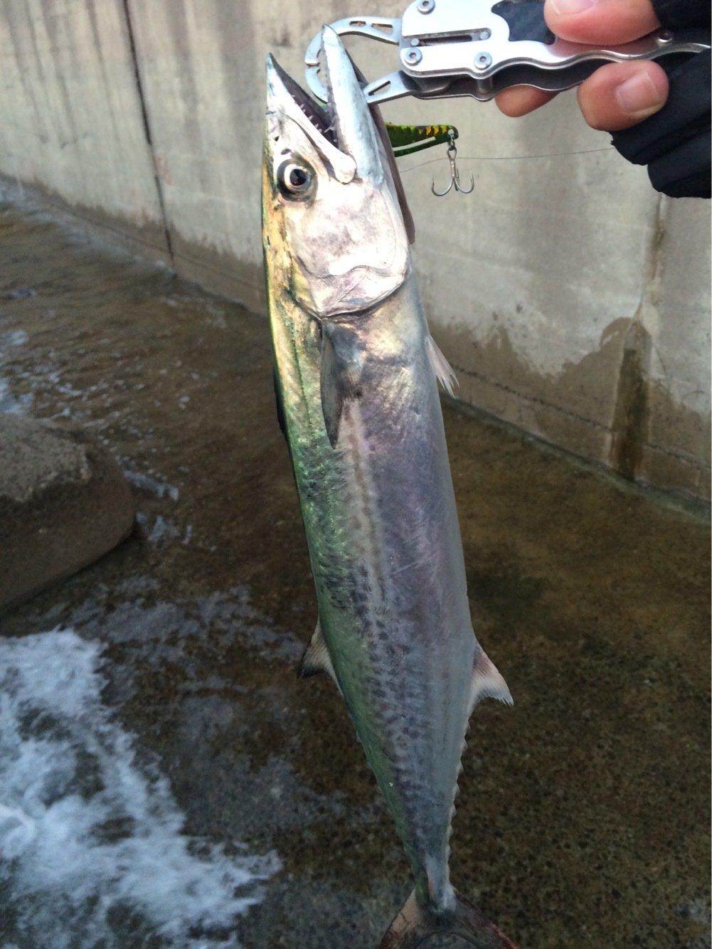 ジグ太郎さんの投稿画像,写っている魚はサワラ