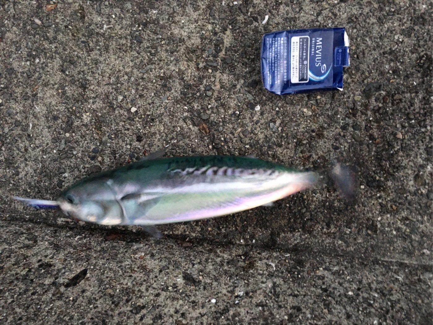 しゅうさんの投稿画像,写っている魚はマサバ