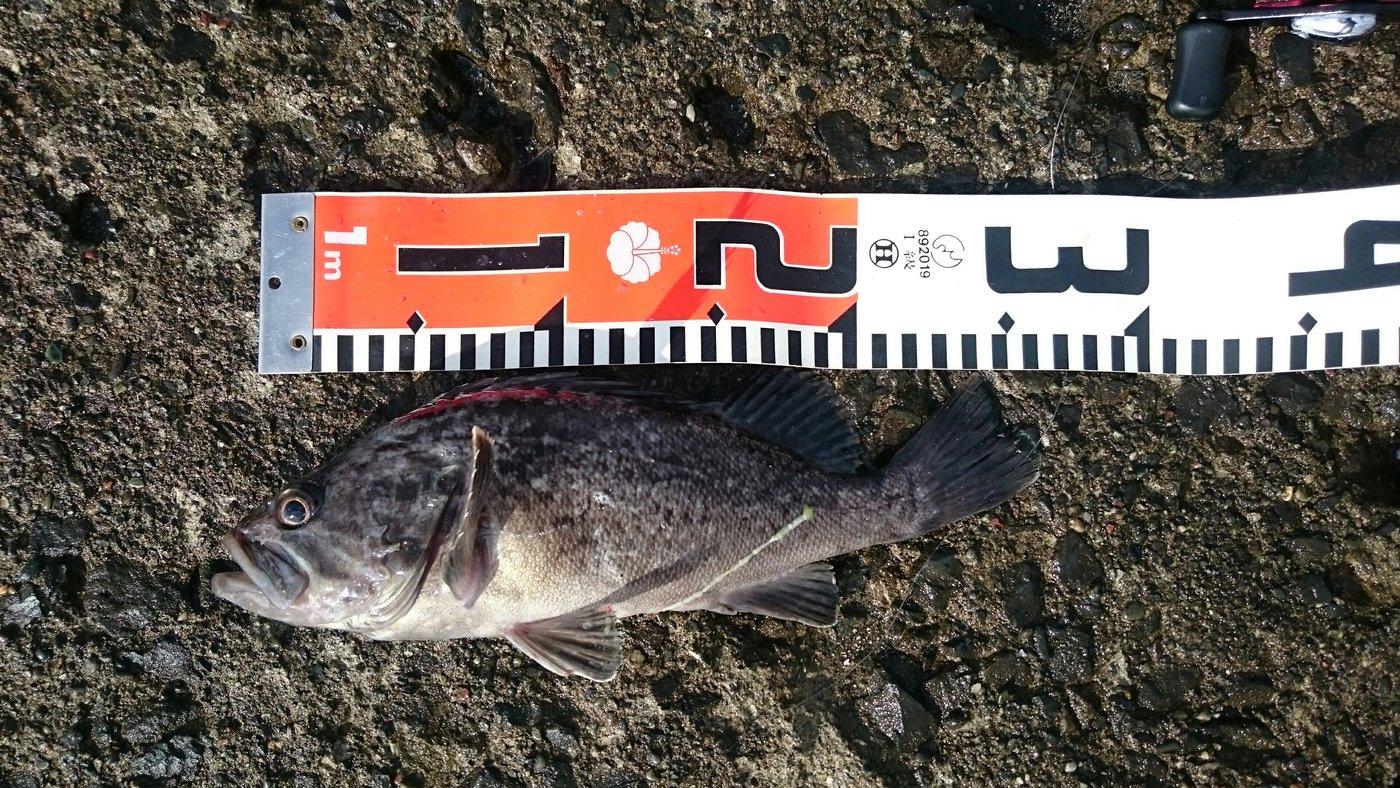 釣りたつさんの投稿画像,写っている魚はソイ