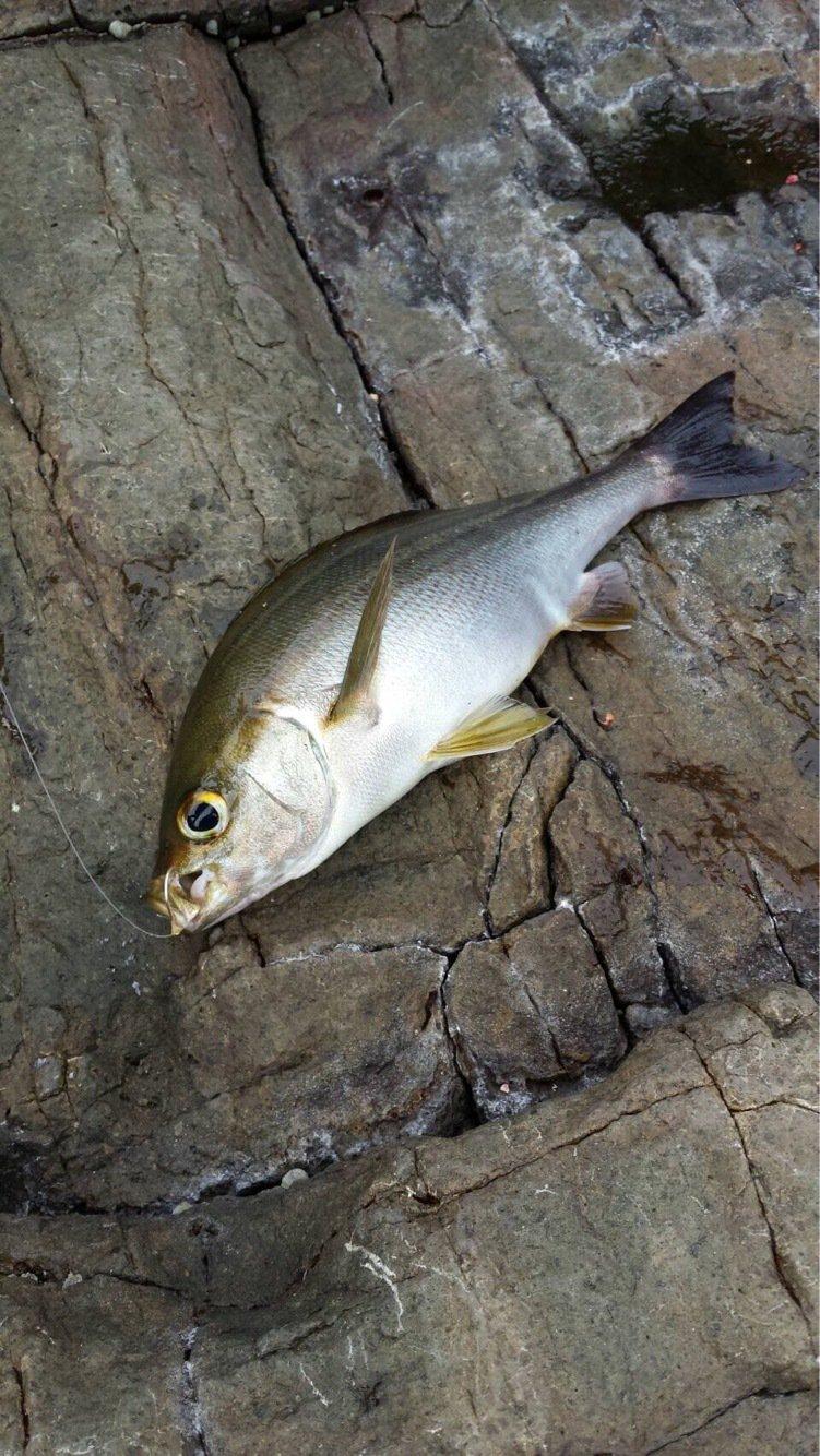 ヒカル 餌木團さんの投稿画像,写っている魚はイサキ
